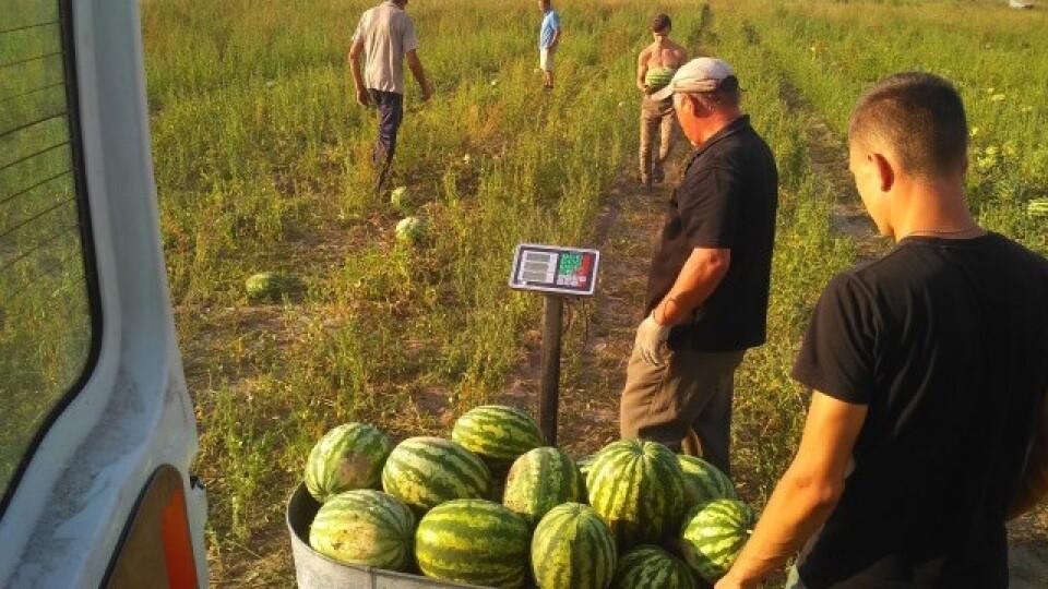 «Скептикам довів, що немає нічого неможливого». Волинський фермер виростив 120 тонн кавунів