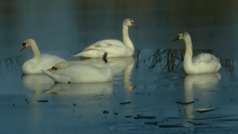 Як у Луцьку із крижаної пастки рятували сімейство лебедів