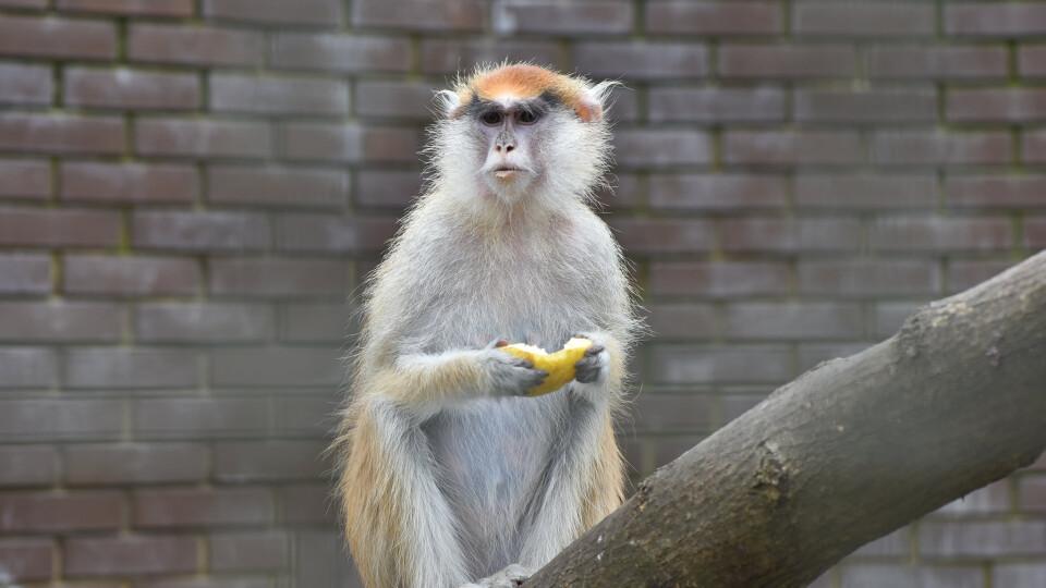 У Луцькому зоопарку для червоних мавп побудують зимові вольєри