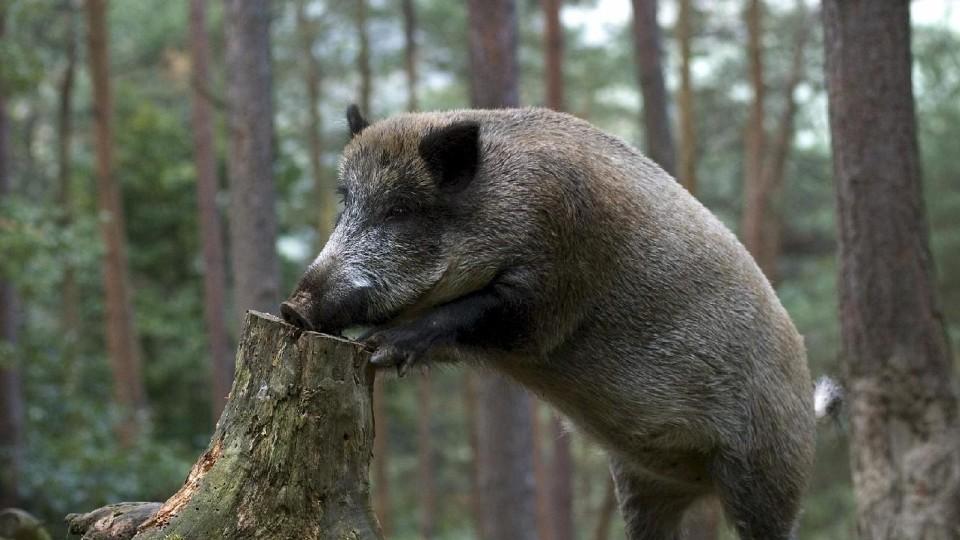 На Волині відстрілюватимуть диких кабанів через африканську чуму свиней