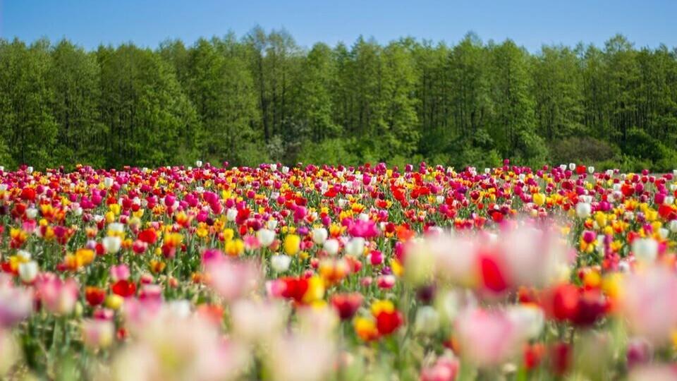 У «Волинській Голландії» зрізали усі тюльпани