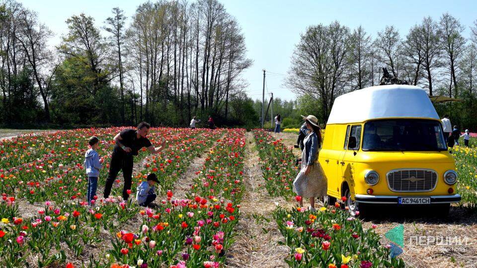 На Волині стартував тюльпановий фестиваль. Туди їдуть побачити три мільйони квітів