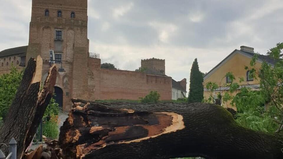 На місці Лесиного ясена посадять нове дерево