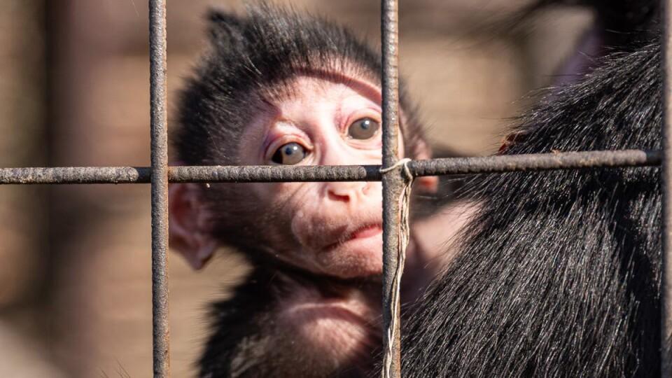 У Луцькому зоопарку народилося мавпеня. Його назвали Любарт