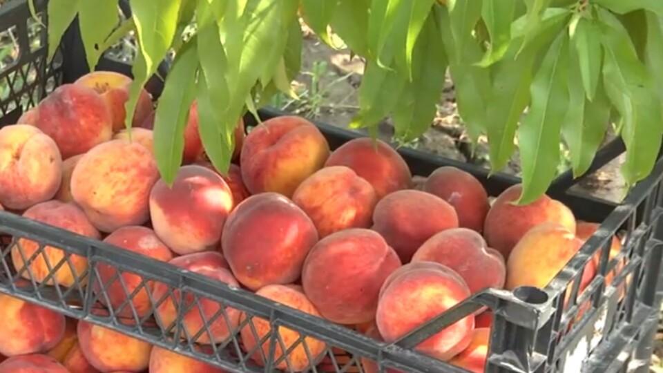 На Волині троє фермерів виростили персиковий садок