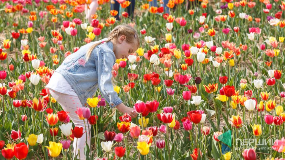 Як заїхати на волинський фестиваль тюльпанів. ПЕРШИЙ В ПОМІЧ
