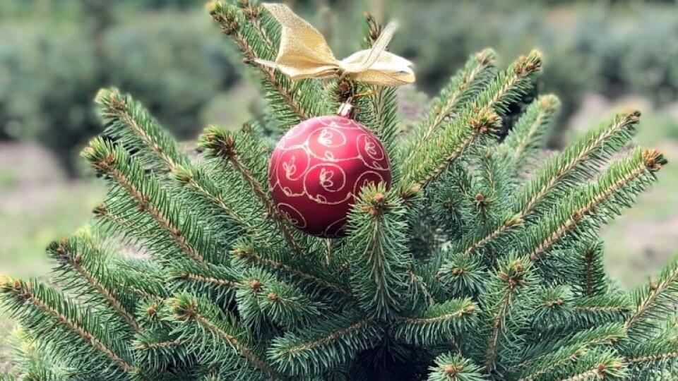 Волинські лісівники розповіли про ціни та кількість новорічних ялинок цьогоріч