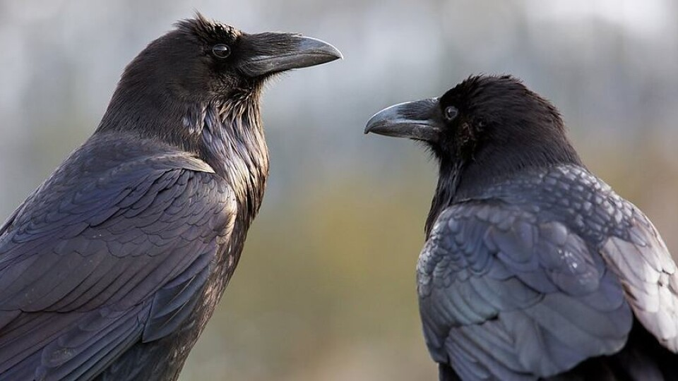 У Володимирі придумали, як вигнати ворон з парку. Ціна питання – всього 3,5 тисячі гривень