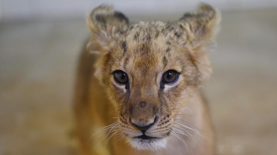 У Луцькому зоопарку поселилася левиця Лана