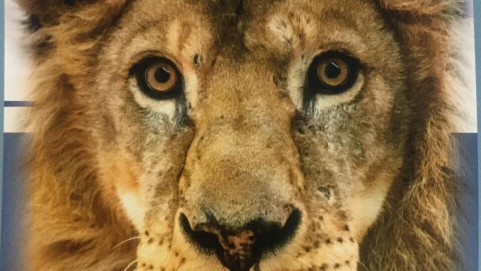 Помер лев Нік із Луцького зоопарку