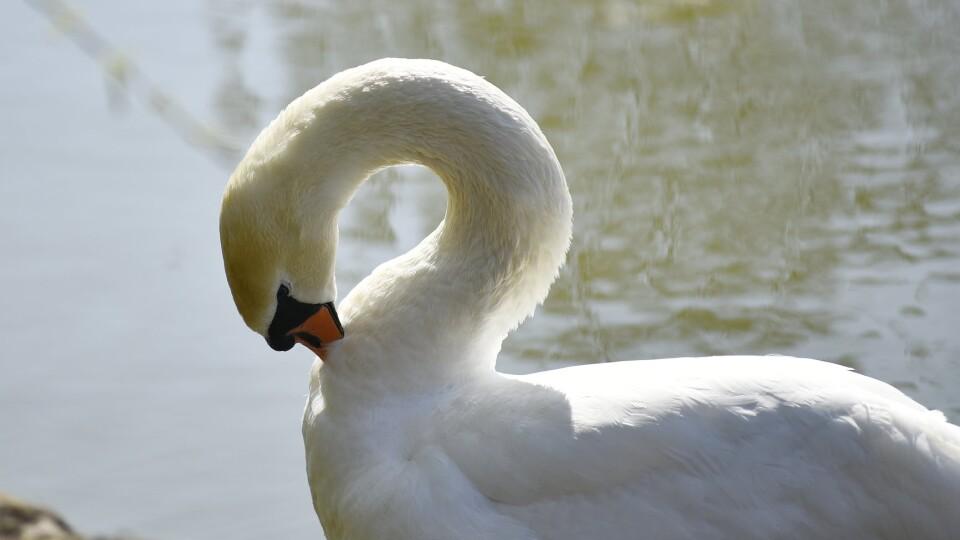 «Дайте лебедям спокій». У Луцькому зоопарку пояснили, коли потрібно рятувати птахів від холоду