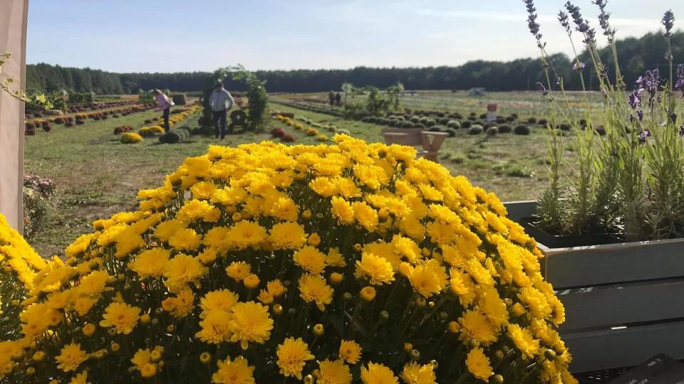 У Волинській Голландії у вихідні знову буде свято квітів