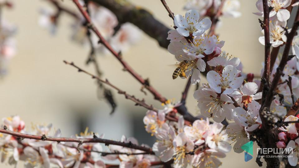Неймовірна краса: як у Луцьку цвітуть дерева. ФОТО