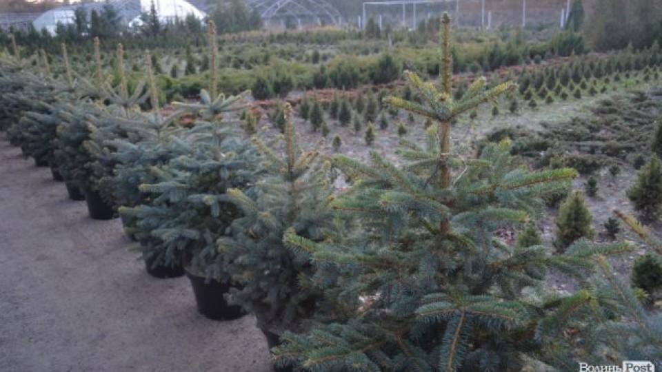 Під Луцьком - плантації новорічних дерев: що і за скільки можна купити. ФОТО