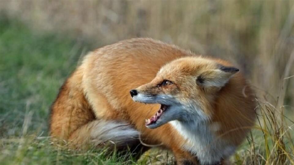 На Волині відстріляють майже 700 лисиць, щоб перевірити на сказ