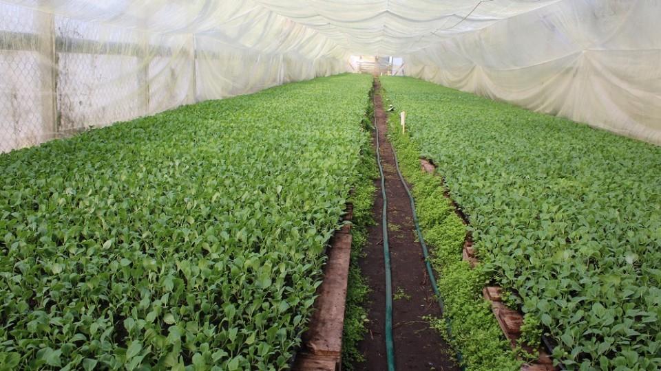 Волинський фермер капустою засаджує 57 гектарів землі. ФОТО