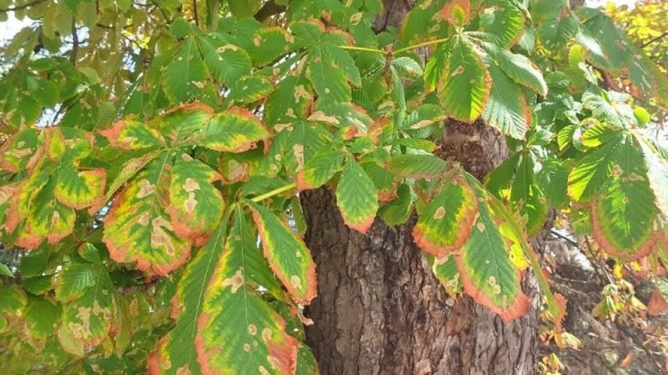 Виразковий рак, кліщі, грибок: чим хворіють луцькі дерева та чи будуть їх лікувати