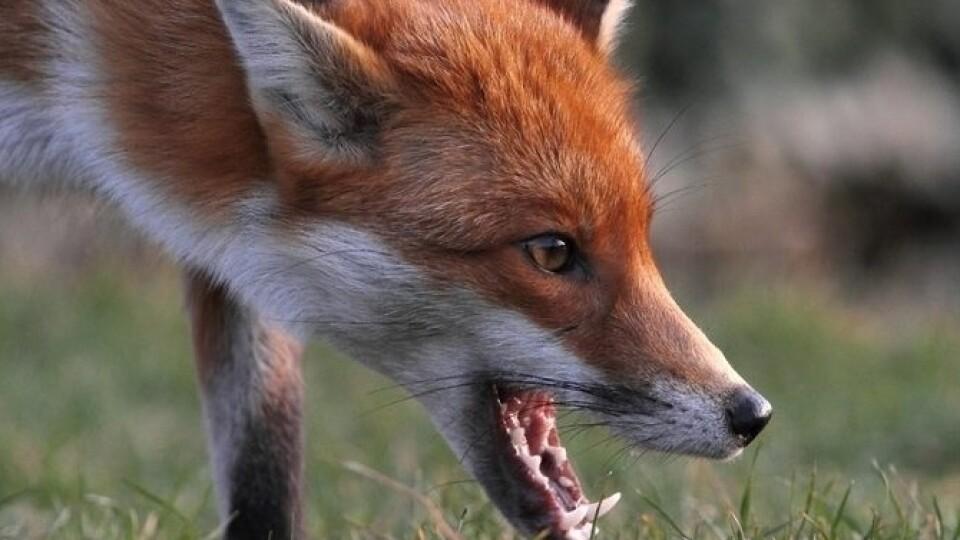 На власному подвір'ї волинянина покусала хвора на сказ лисиця