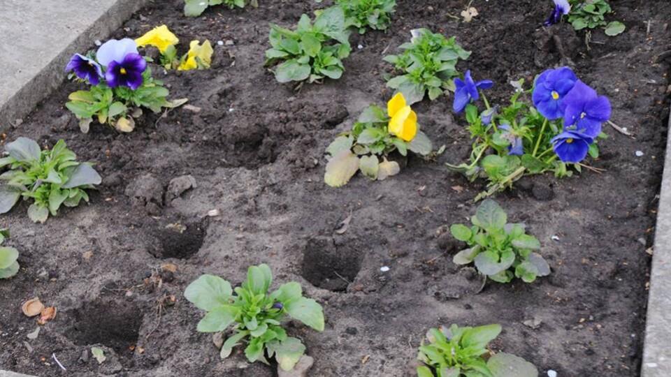 «Це ж яким треба бути жлобом...»: у Луцьку повикопували квіти з клумби