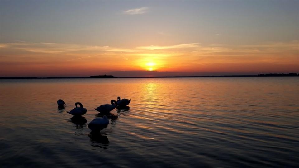Прекрасні світязькі лебеді у променях західного сонця. ФОТО