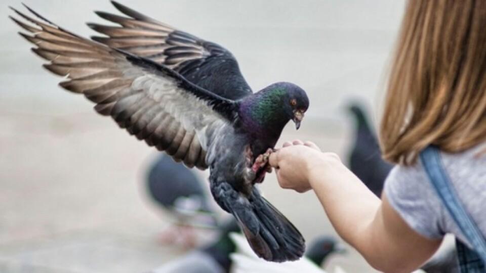 Волинський ветеринар розповів про хвороби, які можуть передавати голуби