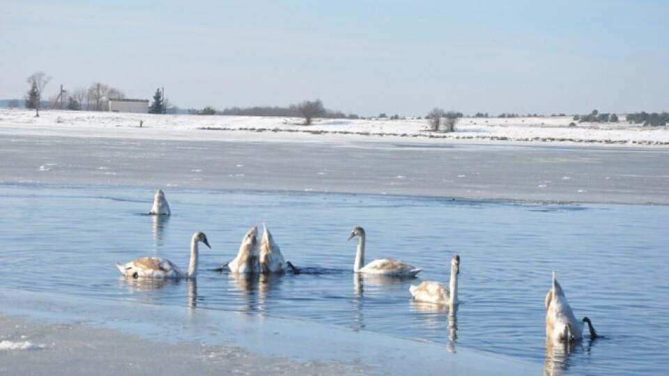 «Не треба створювати птахам зайвого стресу». Чи страшний мороз лебедям, які зимують на Волині