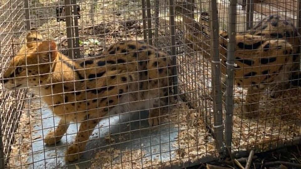 У Луцькому зоопарку нові жителі - пара сервалів