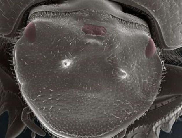 Вчені вперше створили істоту з трьома функціонуючими очима