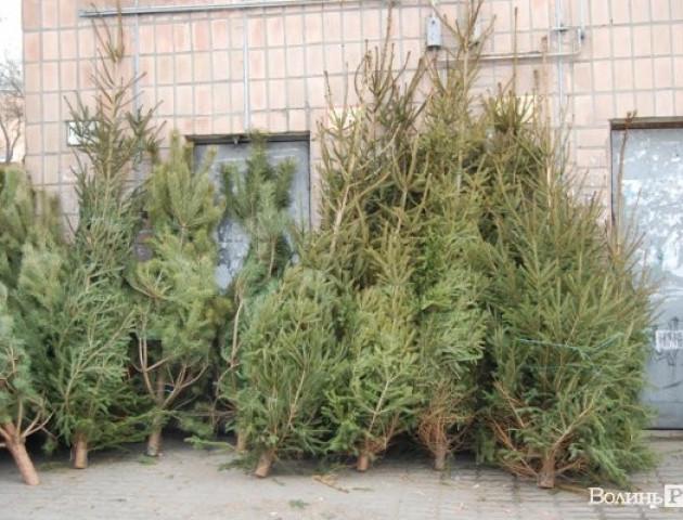 Де у Луцьку можна буде придбати ялинки до новорічних та різдвяних свят?