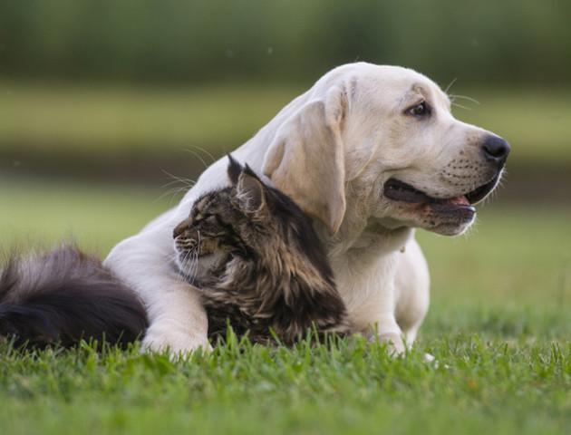 Собаки дійсно розумніші, ніж коти, а єноти взагалі інтелектуали – дослідження