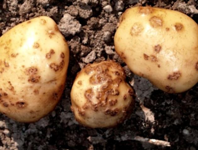 На Волині знайши заражену картоплю