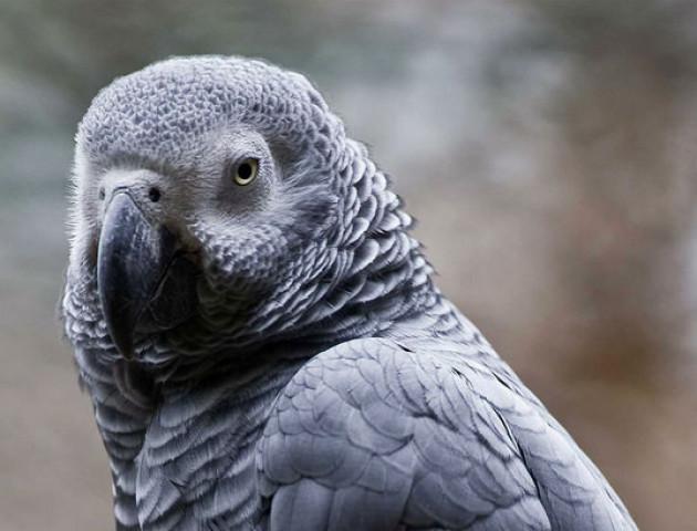 У Кувейті жінка дізналася про зраду чоловіка від папуги