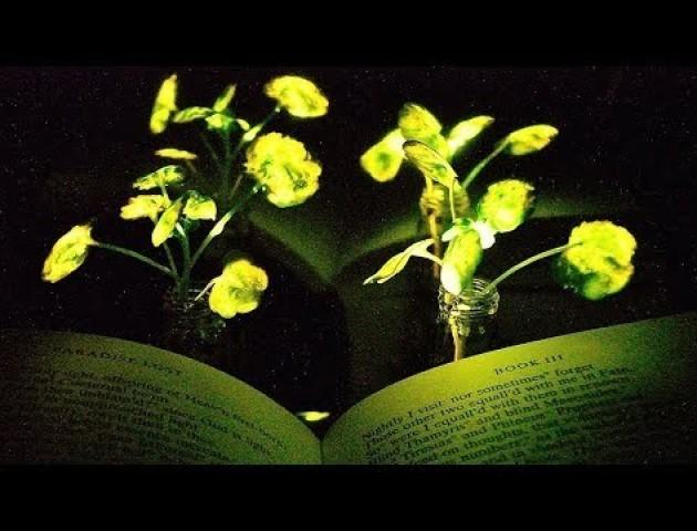 Вченим вдалося виростити рослину, що світиться в темряві: захопливе відео