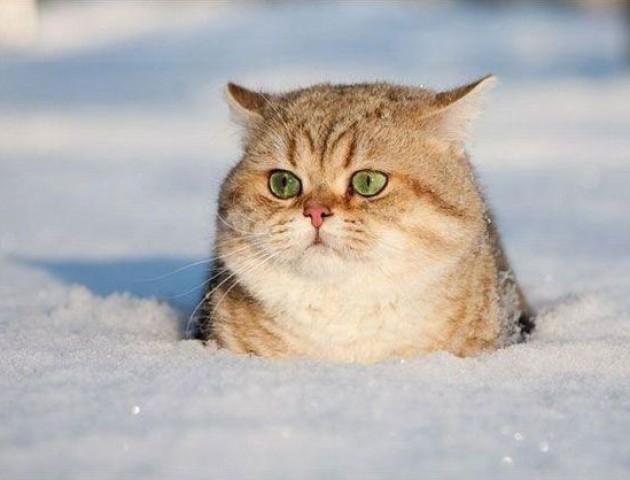 У Луцьку виставка племінних котів. ВІДЕО