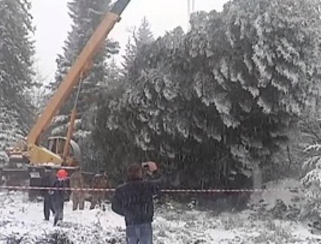 Головну новорічну ялинку України рубали аж п'ять годин