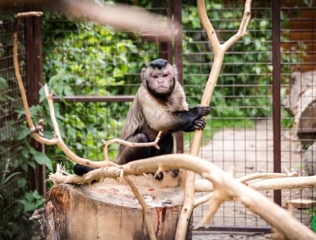 Луцький зоопарк поповнився капуцинами