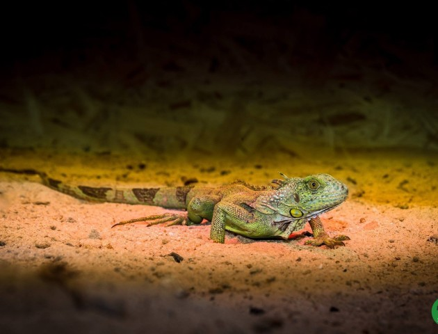 Бородата агама, шпороносна черепаха, ігуана та ахатини: у луцькому зоопарку нові жителі