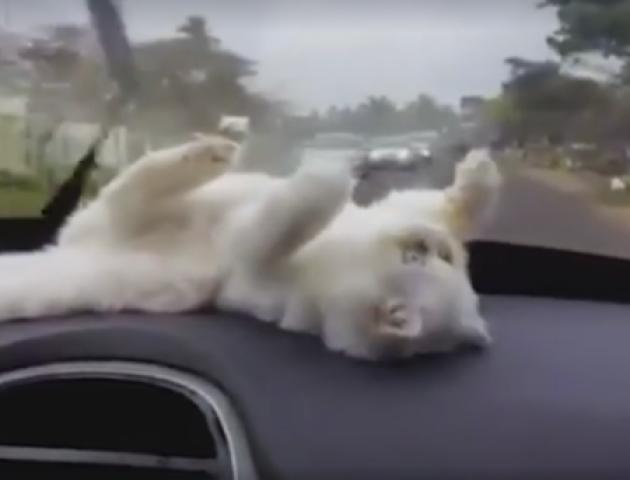 Відеохіт: Пухнастик намагається зловити автодвірники в машині