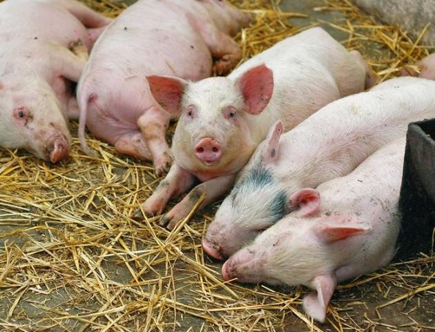 «Свинячу» хворобу виявили на Волині