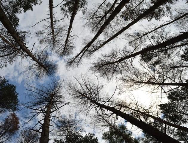 Короїд йде у наступ на волинські ліси