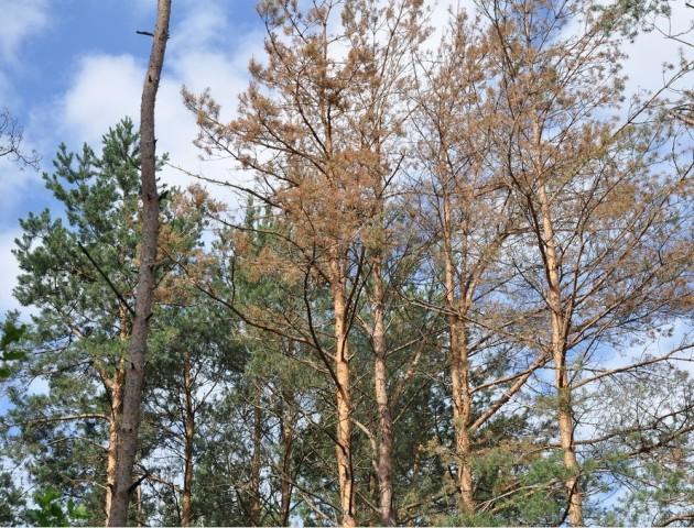 Жук-шкідник знищує Волинські ліси. ВІДЕО