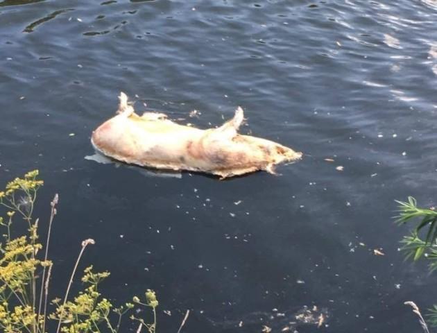 Неподалік від Луцька у річці Стир знайшли дохлу свиню