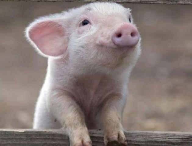 Україна втрачає статус експортера свинини. ВІДЕО