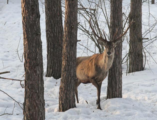 В угіддях Волині розпочався зимовий облік тварин
