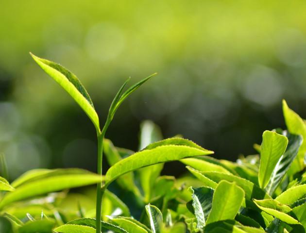 Чим шкодить надмірне споживання чаю