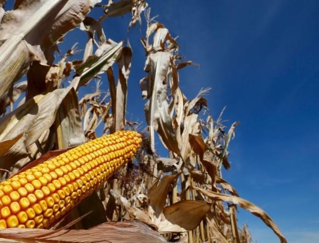 В Китаї українська кукурудза витісняє американську
