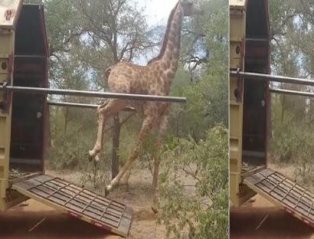 Щаслива жирафа впала, коли бігла на волю: епічне відео