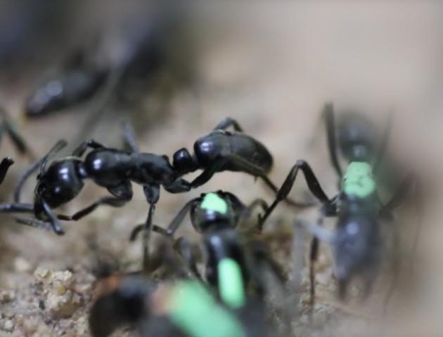 Як мурахи можуть «»лікувати«» травмованих товаришів після нападів. ВІДЕО