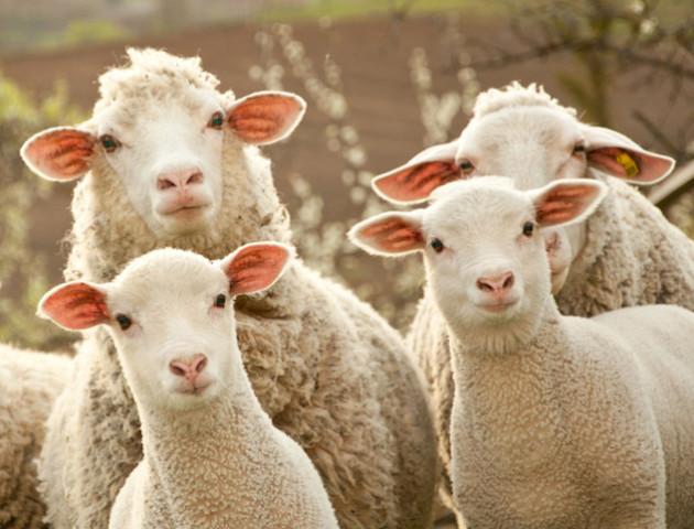 Науковці з США уперше виростили ембріон вівці з клітинами людини. Навіщо?