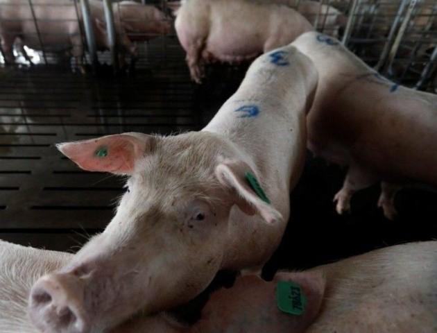 В Україні виявили ще один випадок чуми свиней